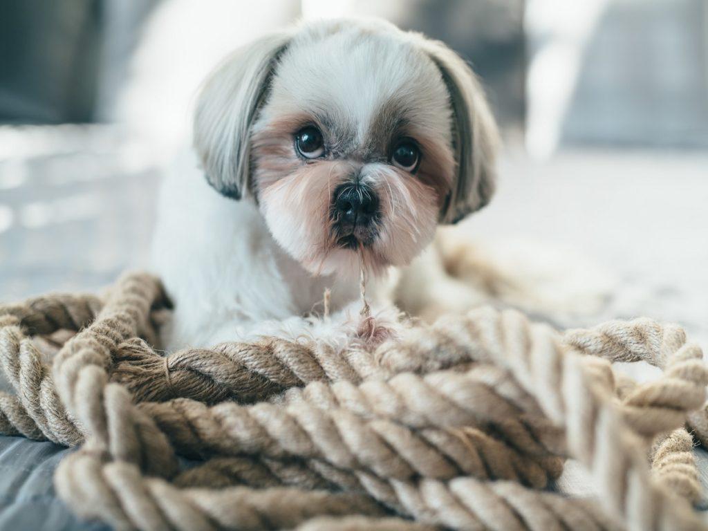 Brachycephalie beim Hund. Shih Tzu Hund der auf Bett liegt