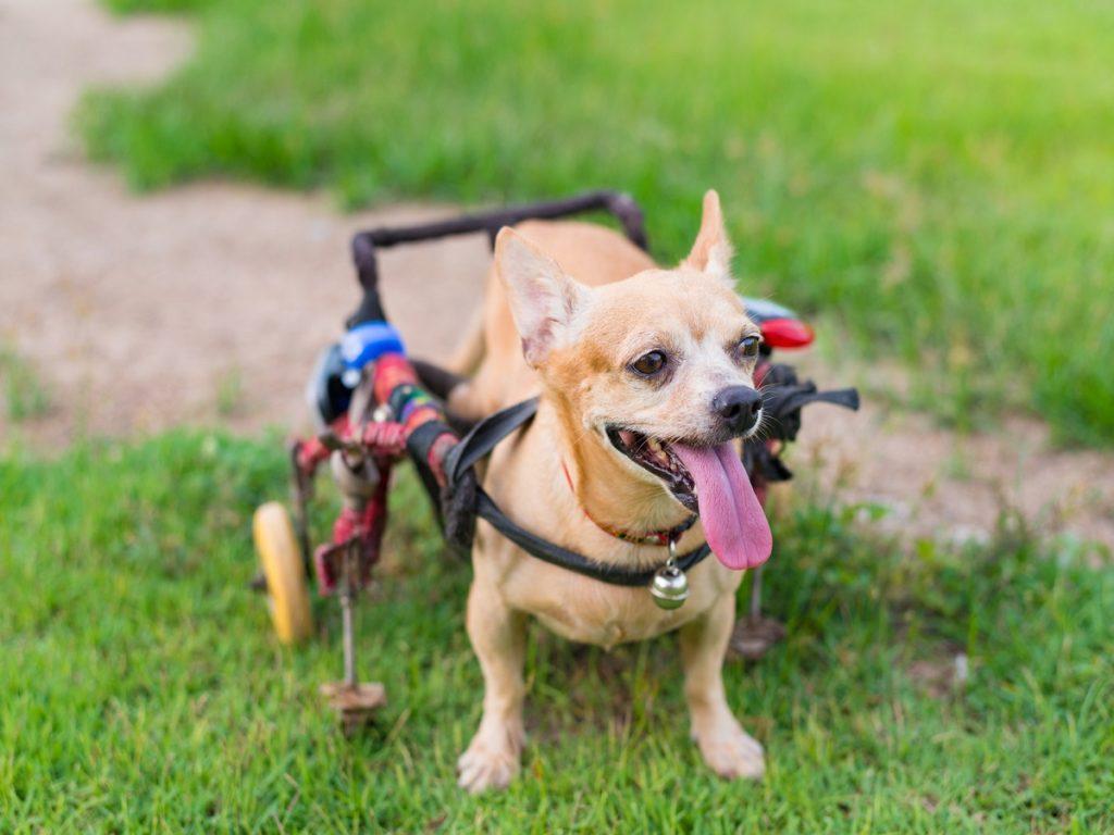 Dackellähme beim Hund. Glücklicher netter kleiner Hund im Rollstuhl