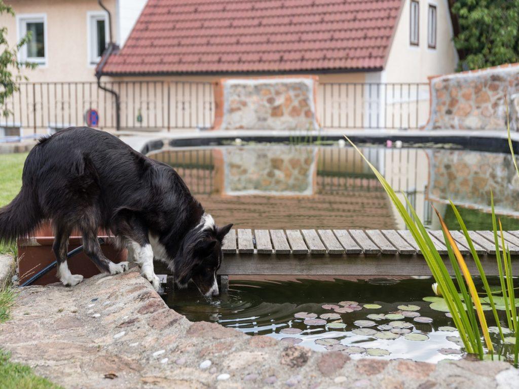 Diabetes beim Hund. Australian shepherd trinkt am Teich im Garten