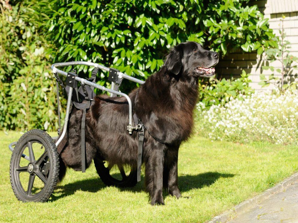 Myelopathie beim Hund. Gelähmter Hund mit Rollstuhl