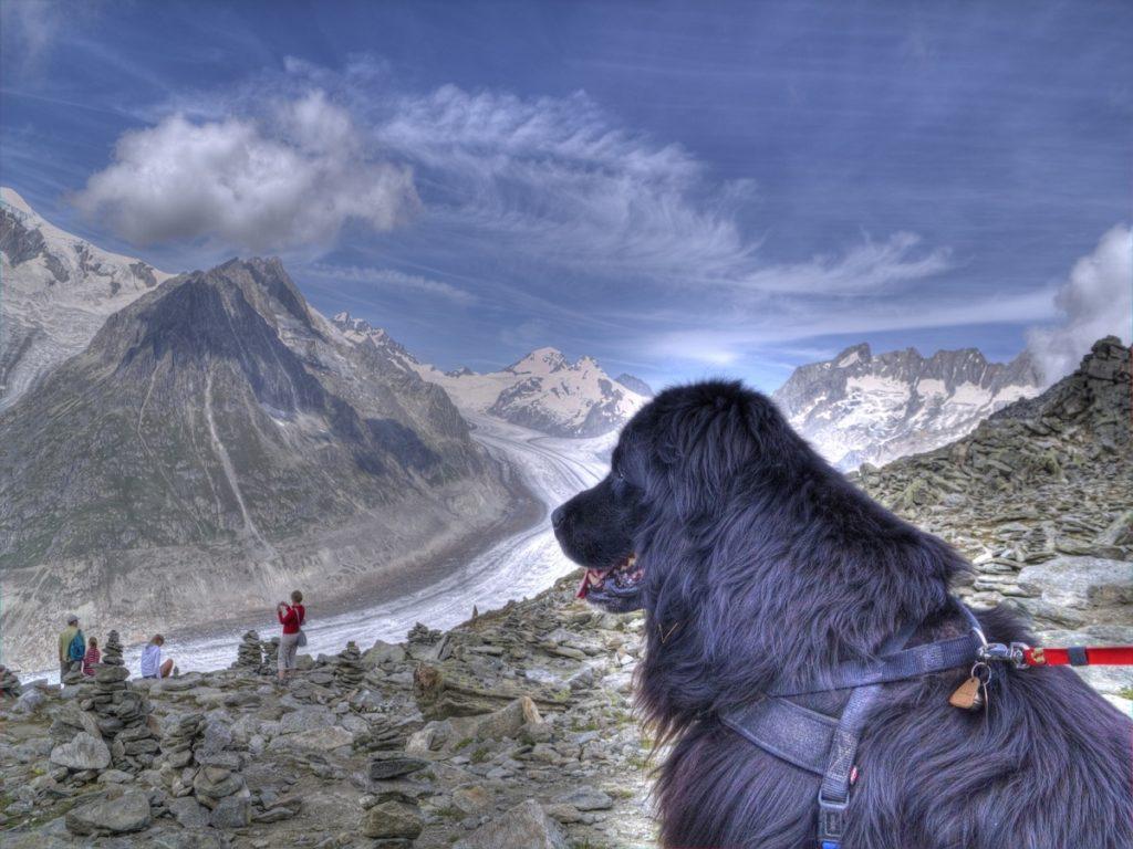 Osteochondrosis beim Hund. Aletschgletscher mit Hund