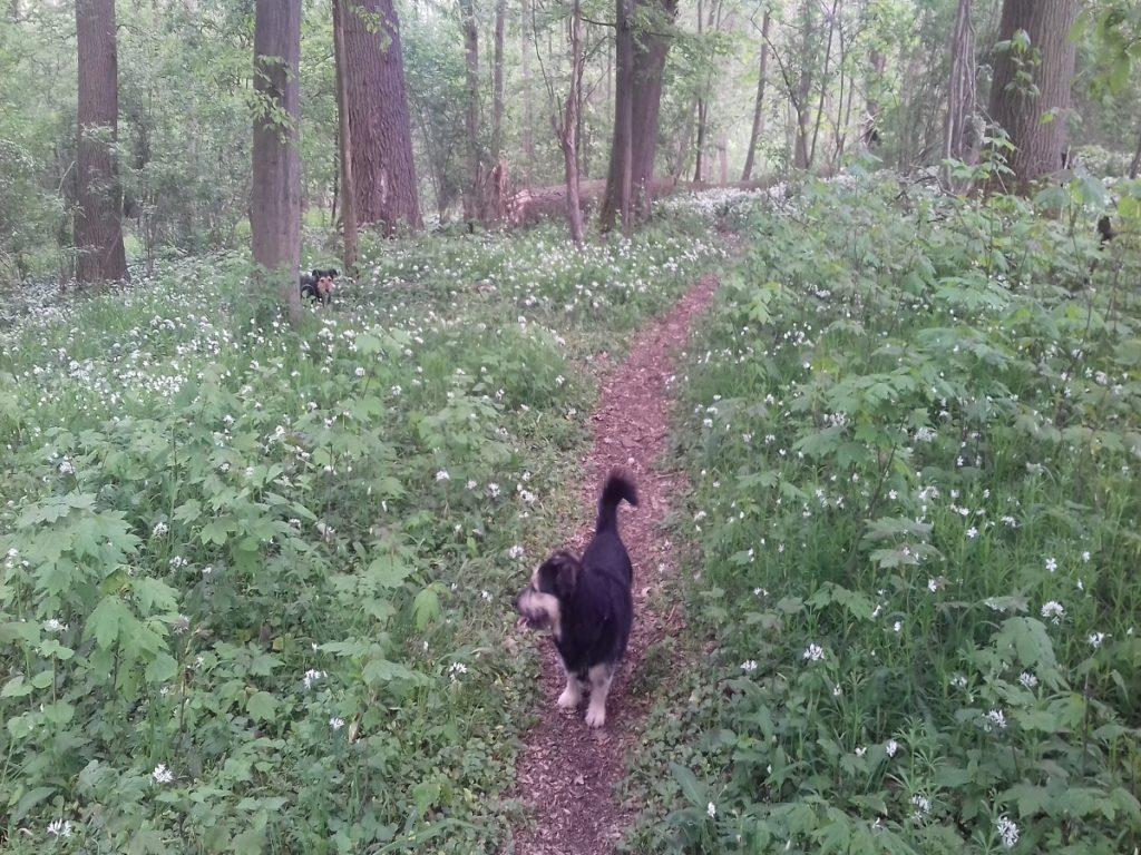 Startseite Der Pfoten Freund. Rocky und Frieda auf Trampelpfad im Wald voller Bärlauch