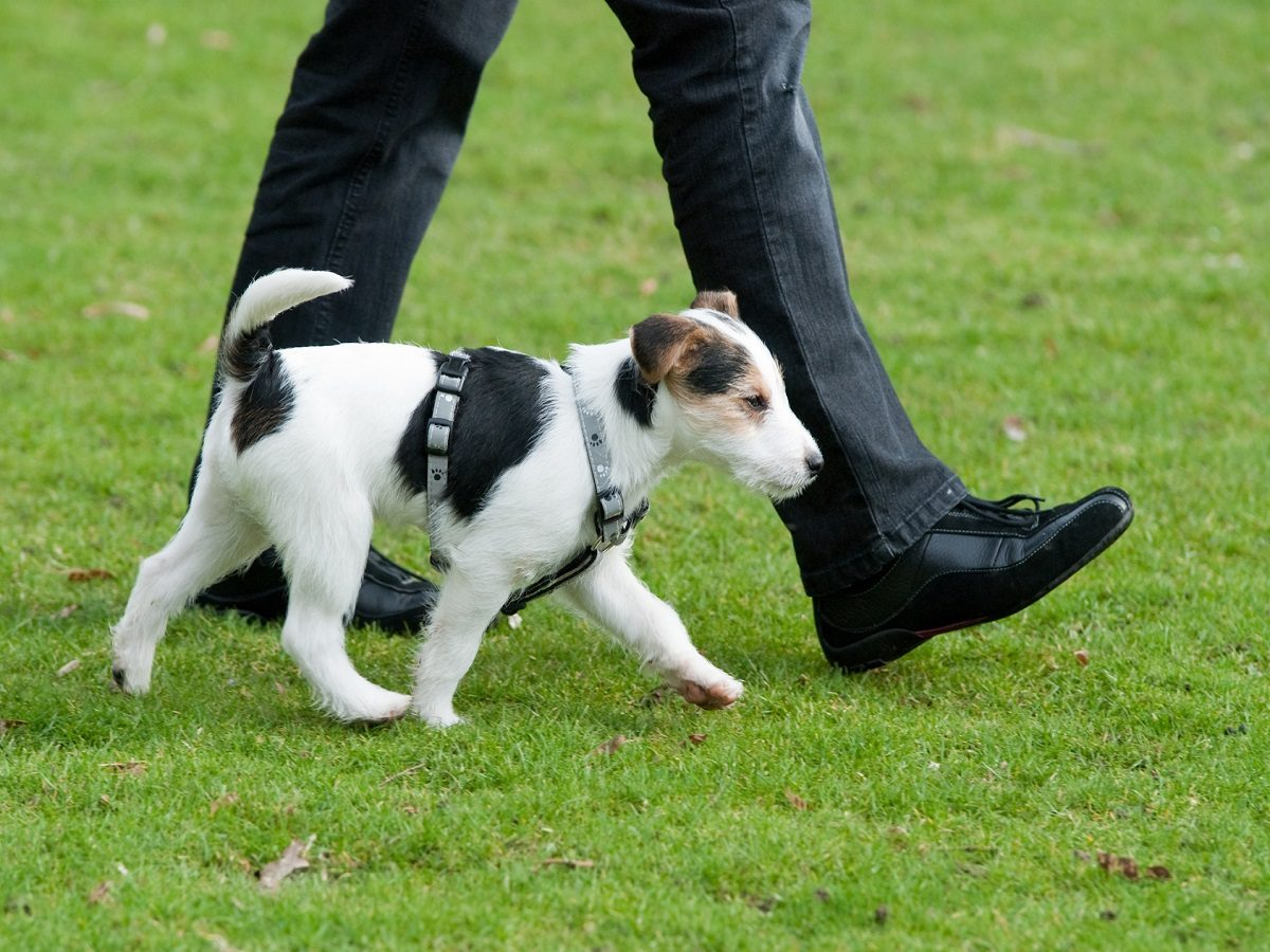Begleithundeprüfung. Hund lauft bei Fuß in der Hundeschule