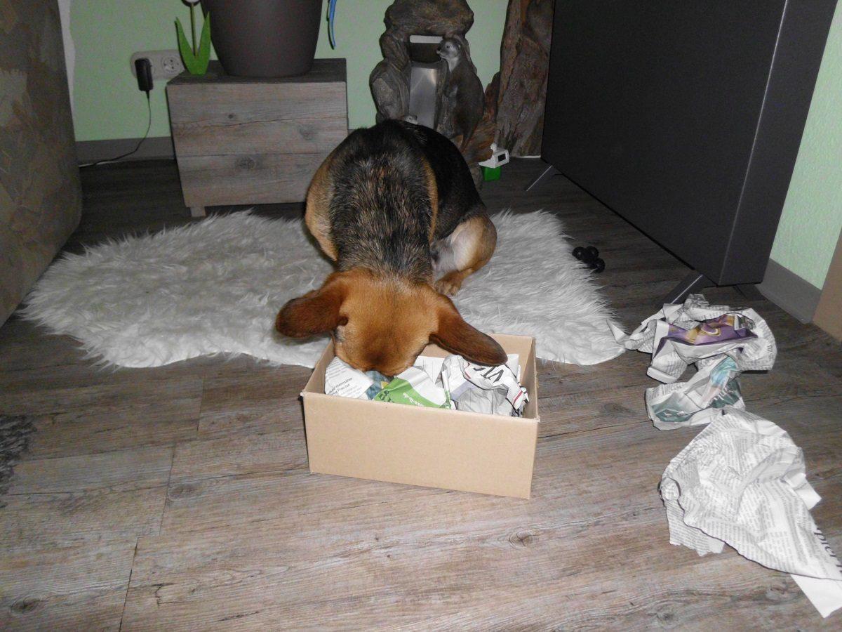 Ein einfaches Futterspiel. Hund sucht Hundefutter in einem Karton