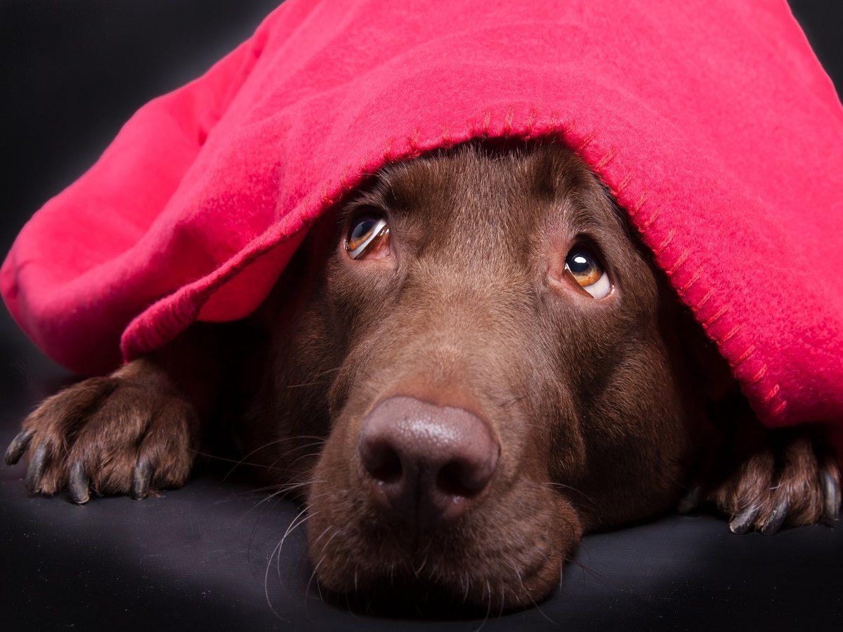 Grüner Star beim Hund. Labrador unter der Decke