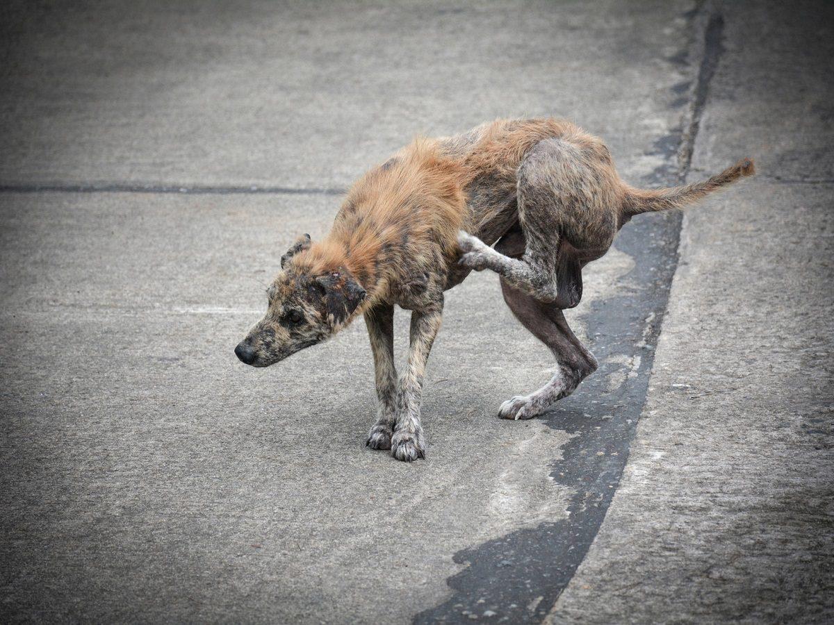 Haarausfall beim Hund. Hund mit wenig Fell