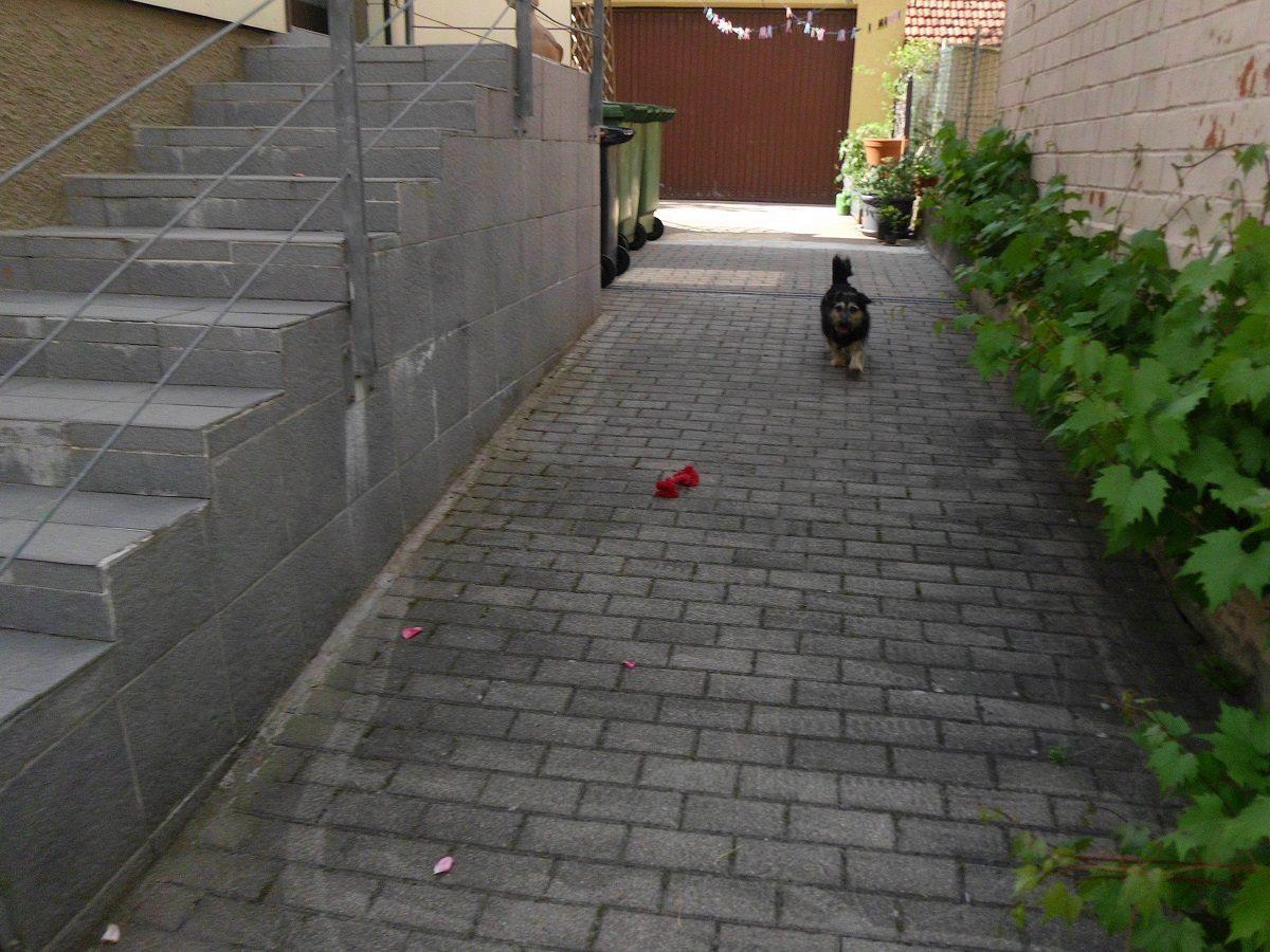 Hinter dem Zaun. Hund rennt zum Tor im Hof