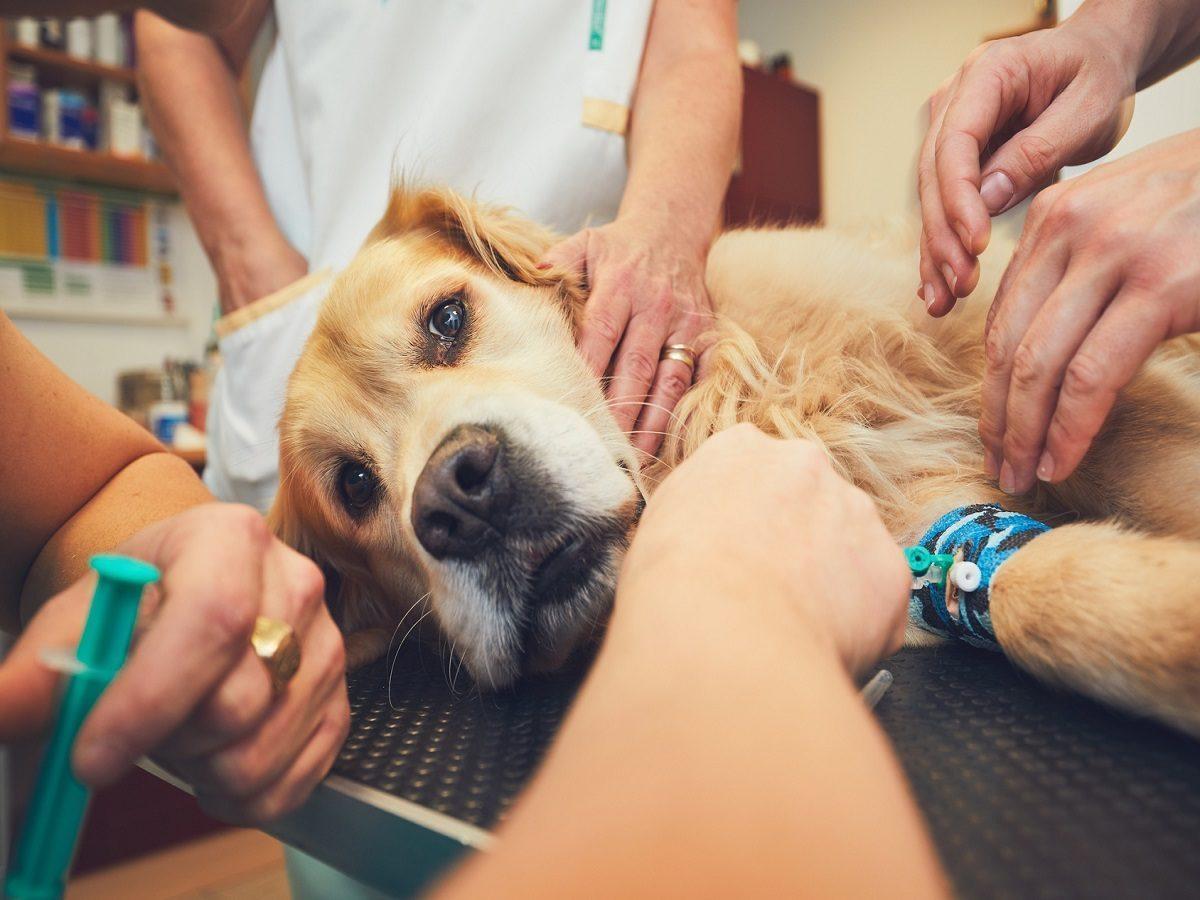 Hundeleiden im Alter. Golden Retriever in der Tierklinik. Tierärzte, die den Hund für die Operation vorbereiten